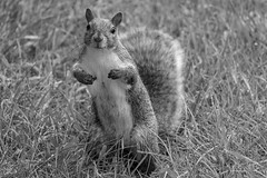 who, me ? ... you're talking to me ? (mariola aga) Tags: grass wet squirrel portrait pose closeup bw blackwhite monochrome thegalaxy alittlebeauty coth coth5