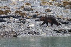 Brown Bear (drawing10000birds) Tags: brown bear glacier bay national park alaska 2018 gustavus ursidae