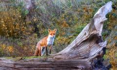 Autumn Fox (saundersfay) Tags: fox autumn leaves wild scenic