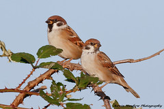 Tree Sparrows_82A2772(explore) (kevinmayhew62) Tags: treesparrow welneywwt