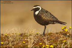 American Golden-Plover (Pluvialis dominica) (Glenn Bartley - www.glennbartley.com) Tags: animal animalia animals aves avian bird birdwatching birds glennbartley wildlife arctic alaska northamerica usa tundra nature americangoldenploverpluvialisdominica