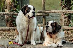 Sint Bernards, BLOEM & MACY (K.Verhulst) Tags: sintbernard stbernard dog dogs honden hond huisdier pet amersfoort bloem macy coth5 saintbernard saints