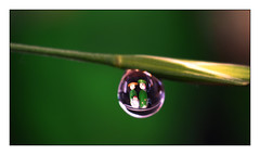 Perfect Match - Perfect Couple (Quang thanh Nguyen) Tags: perfectmatch perfectcouple olympusomdem1 olympus60mmf28macro macromondays waterdrop drop