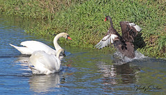 Two muted swans stopping the black swan from getting past on the river. (vickyouten) Tags: mutedswan swan blackswan nature wildlife luntmeadows crosby liverpool canon canon1300d vickyouten