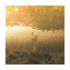 Glow (Vemsteroo) Tags: deer stag charlecote warwickshire wildlife nature beautiful sunrise mist fog autumn outdoors landscape animal canon 7d tree countryside rural