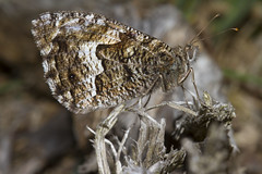 Grayling (Hipparchia semele) (wayne.withers1970) Tags: small pretty wings fly flight flying color colorful nature natural colour colourful wild wildlife england summer macromonday butterfly moth flickr dof bokeh country countryside outside outdoors alive fauna canon sigma light black white brown fine dark macro macromondays invertebrate bug animal insect grayling dorset heath wood