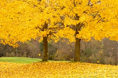 Falling Leaves (Kathy~) Tags: fall autumn yellow two trees tree fallingleaves michigan friendlychallenges