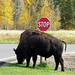 Wood bison - Ela Island NP