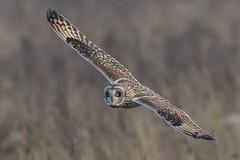 short eared owl (2) (colin 1957) Tags: shortearedowl owl birdsofprey