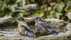 Western Bluebirds with White-crowned Sparrow and House Finch Friends (Bob Gunderson) Tags: birds bluebirds california fortmason northerncalifornia sanfrancisco sialiamexicana thrushes westernbluebird