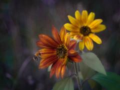 Last Sunflowers (ursulamller900) Tags: diaplan28100 sunflower sonnenblume bee biene bokeh autumn herbst mygarden