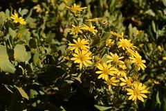 Chrysanthemoides monilifera (galanhsnu) Tags: chrysanthemoidesmonilifera chrysanthemoides osteospermummoniliferum osteospermum rooiels calenduleae asteroideae asteraceae asterales southafrica boneseed bitoubush