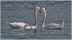 Kiss (Kike K.) Tags: swan lake water landscape tree mountain walk hiking canon forest flood rain waterscape mirror europe reflection weather mist mood serene peace raindrop drop outdoor branches color light gray torquise blue green bird animal duck wildlife life leben vita wet amateur gimp snow spring cartoon 2018 river run start wings feathers beak eyes pond diptych splash switzerland summer august 400mm white black coot zurichsee couple pair love kiss look cof041mark cof041dmnq cof041ally