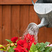 Watering Can in use to water flowers