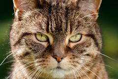 The Eyes have it (Paul A Wiles) Tags: tim cat shorthair tabby feline