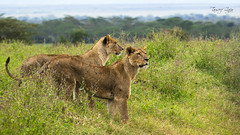 On a Hunt (Tauseef Zafar (Digital Fly)) Tags: onahunt lionessesonhunt twolionesses lioness duo wildlife predator bigcats nukurunationalpark wildlifeofkenya canoneos7dmarkii tauseefzafar