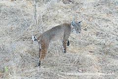 Western Bobcat (Lynx rufus fasciatus) DSC_0085 (fotosynthesys) Tags: westernbobcat lynxrufusfasciatus lynxrufuscalifornicus bobcat lynx cat felidae mammal california unitedstates