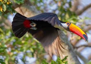 Toco toucan, tucanuçu