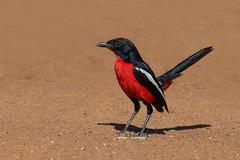 Crimson Breasted Shrike (ToriAndrewsPhotography) Tags: crimson breasted shrike south africa limpopo region bird red photography andrews tori