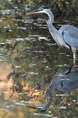 FGR_9069 (frodin78) Tags: greatblueheron blue heron birds nature wildlife