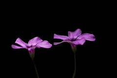 Oxalis (Valentina Conte) Tags: flower flora oxalis black blackbackground plants spring season blooming blossom nature macro macrophotography isolated canon100d rebelsl1 valentinaconte garden gardening purple colorful magenta petals double two single romantic romanticism