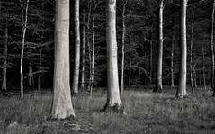Ingot (Svendborgphoto) Tags: woods autum trees forrest nikon nikondigital denmark dof d800 sigma 2470ex sigma2470hsm nature nikond800 monochrome bw blackandwhite
