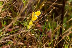 7K8A7578 (rpealit) Tags: scenery wildlife nature weldon brook management area orange sulphur butterfly