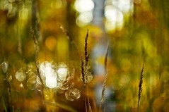 In the woods (Stefano Rugolo) Tags: stefanorugolo pentax k5 pentaxk5 helios44258mmf2 helios442 helios m42 woods forest tree bokeh backlight golden grass abstract autumn fall hälsingland sweden sverige manualfocuslens manualfocus manual vintageprimelens vintagelens depthoffield