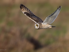 Asio Flammeus (eric-d at gmx.net) Tags: asioflammeus shortearedowl sumpfohreule strigidae eric ericdgmxnet eule owl birds birdofprey naturepicturede wildlife