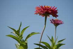 Dalias de casa (Joaquim F. P.) Tags: joaquimfp tarragona macro dalia salou spain natura nature flora cultivada jardín flowers bealpha