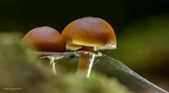 Pilze - Mushroom - Spinnerhaftig (Pana53) Tags: photographedbypana53 pana53 naturfoto pilze mushrooms wald naturakademie schneverdingen waldboden baumstamm makro nikon nikond500