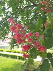 Aesculus x carnea (Iggy Y) Tags: aesculusxcarnea aesculus carnea spring blossom flower red color flowers green leaves nature park plant crvenocvjetnikesten kesten redhorsechestnut chestnut sunny day light