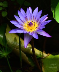 Pygmy water-lily (garyxi) Tags: pygmywaterlily pygmy colours colour colors yellow nature purple color flowers flower waterlily lily water