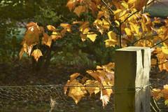 Autumn fence (Elisafox22) Tags: elisafox22 sony a58 meyeroptik lens meyeroptikorestor bokehmonster 135mmf28 15blade vintagelens leaves autumncolours golden colours fencefriday hff fencedfriday weathered worn fencepost wood wooden wiremesh metal fence sunshine sunlight bokeh barbedwire wire elisaliddell©2018