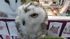 Anna,a baby snowy owl (billnbenj) Tags: barrow cumbria owl snowyowl raptor birdofprey video