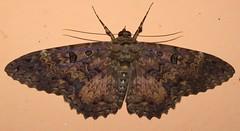 Letis scops (Birdernaturalist) Tags: bolivia lepidoptera moth richhoyer