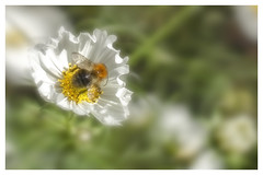 Last of the summer wine (Sarah Fraser63) Tags: mygarden flowers cosmos flora white petals pollen yellow bees bee bumble bumblebee nature mothernature outdoors outside autumn october helios bokeh