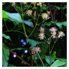 Traveller's-joy (JulieK (thanks for 7 million views)) Tags: wildflower canoneos100d sliderssunday squareformat flora beautifulnature bokeh 100flowers2018 clematisvitalba travellersjoy