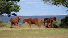 Assateague Ponies (jquill70) Tags: assateague ponies