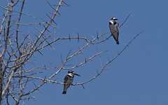 Pied kingfishers, Okavango Delta (nisudapi) Tags: 2018 africa botswana okavango delta okavangodelta bird wildlife kingfisher piedkingfisher pied blackandwhite