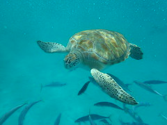 PA160105 (iainjmcd) Tags: bridgetown barbados october 2018 calabazasailingcruises seaturtle