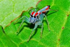 Salticidae (Alvaro_L) Tags: colorful bigeyes grandesojos color colorida araneae salticidae araña arañasaltadora spider jumpingspider