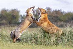 Let's dance - the foxtrot... (KevinBJensen) Tags: fox red foxes animal photography photograph images pics wildlife wild photographer free nature model models fight dance dunes netherlands predator hunter foxtrot wbpa