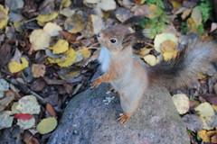 // FINLAND (Joona Jo) Tags: squirrel orava luonto nature suomi finland syksy fall autumn