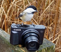 Amateur Birder (Meryl Raddatz) Tags: chickadee nature naturephotography