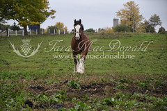 DSC_6191 (Tara MacDonald - www.TheVillagePlate.com) Tags: andrewsangster farm williamstown ontario canada southglengarry horse clydesdale taramacdonald agriculture tourism agritourism photography drafthorse rural country strathburnfarm