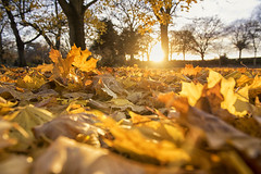 Fallen (Tracey Whitefoot) Tags: 2018 tracey whitefoot nottingham nottinghamshire november autumn fall leaves fallen embankment memorial park meadows golden gold trees sunset dusk light war