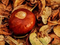 California Buckeye Seed (oldhiker111) Tags: folsomlakestatepark californiabuckeye seed