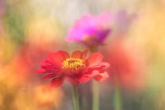 summer feelings (SonjaS.) Tags: doppelbelichtung doubleexposure trioplan meyergörlitz blumen flowers zinnie weich zart zartheit bokeh garden garten microvisions