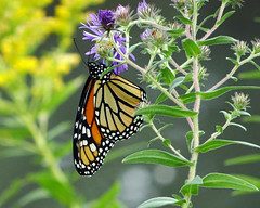 (Maia C) Tags: sonydschx80 maiac butterfly aster goldenrod monarch